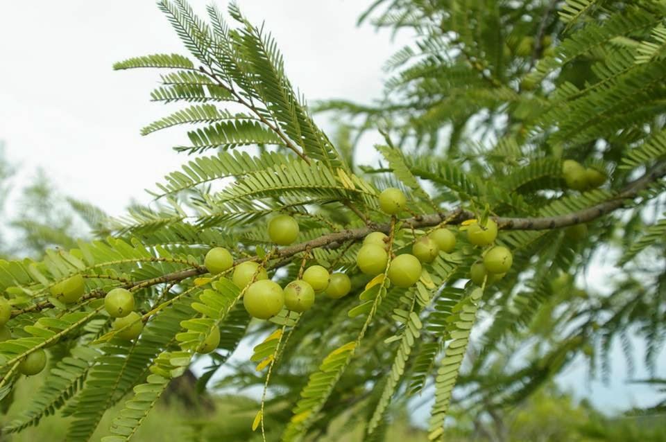 buah amla